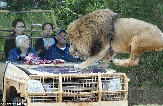 動物園新玩法:與獅子面對面共進晚餐,而且很安全!-0